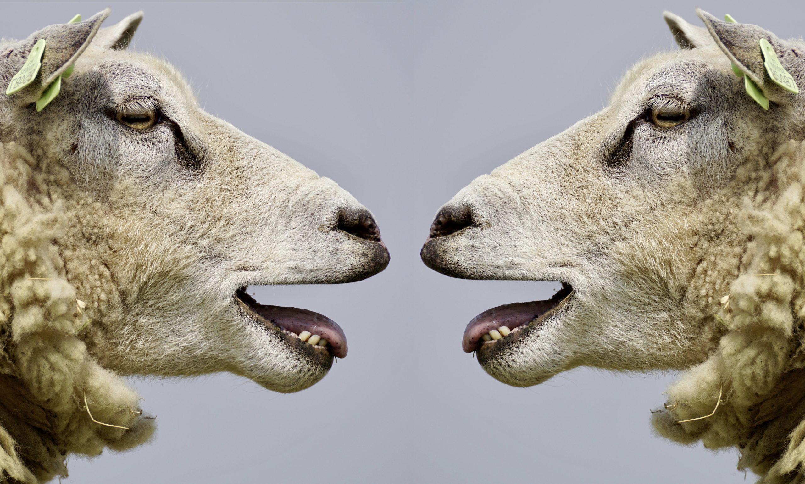 Schafe im Dialog Bekanntheit in sozialen Medien